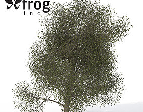 3D model XfrogPlants American Beech