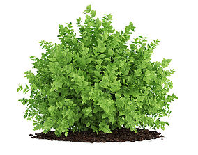 Small Boxwood Plant Buxus sempervirens 3D