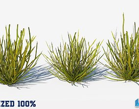 Euphorbia Larica Plant Optimized 3D asset