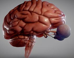 3D model game-ready Brain Brain stem and Eyes
