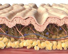Skin Cross Section Wrinkled 3D
