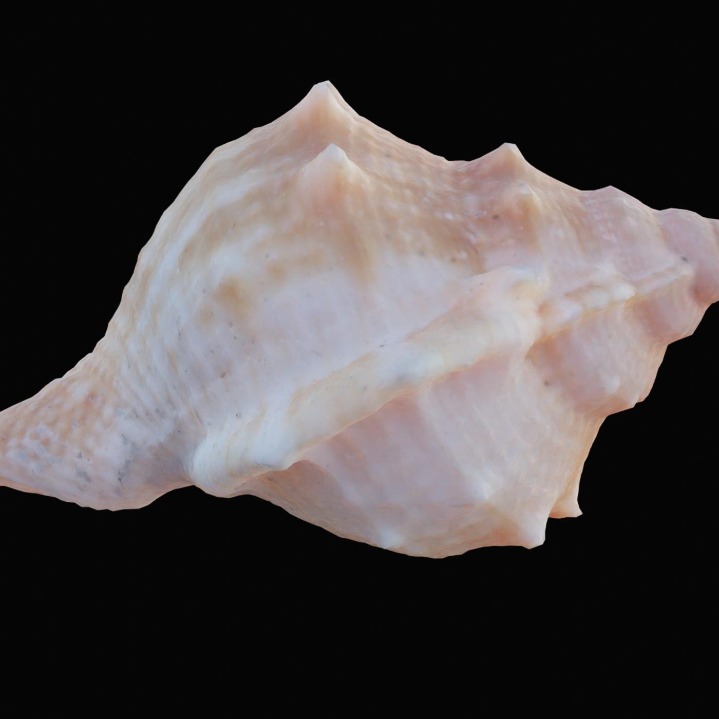 Angular Triton Sea Shell