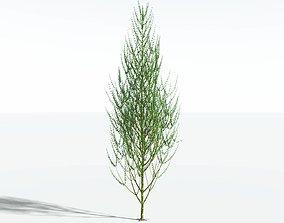 EVERYPlant Ridged Horsetail Tree SINGLE --1 Model--