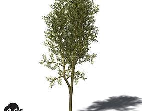3D model XfrogPlants Yellowwood