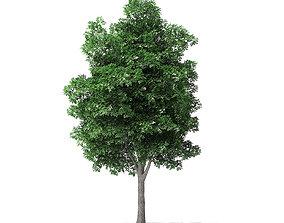 White Ash Tree 3D Model 7m