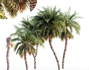 3D model Date palm collection 5 trees in the scene
