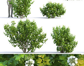 3D Viburnum flowering 02