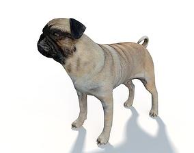 3D asset Pug Dog Rigged
