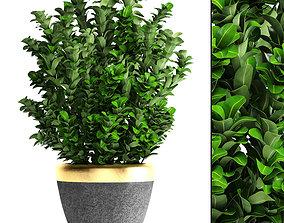 Plant in pot Buxus sempervirens 3D model