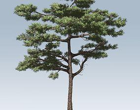 Huangshan Pine 3D model