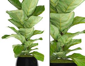 Ficus Lyrata bush 3D