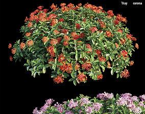 Ixora plant set 35 3D
