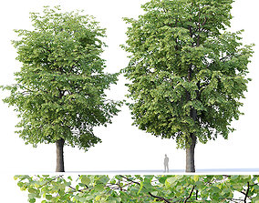 Tilia europaea Nr 10 H16-18m Two adult trees 3D