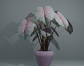 3D asset Indoor plant caladium