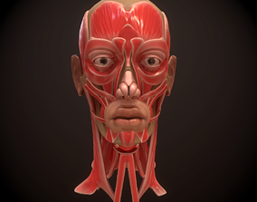 Head Face Muscle Structure Anatomy 3D