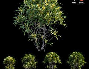 3D Croton plant set 08