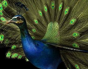 wildlife peacock 3d model