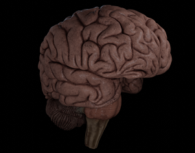 High Resolution 8k Human Brain System Pack 3D model
