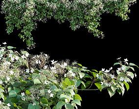 Hydrangea anomala petiolaris - Climbing Hydrangea 3D model