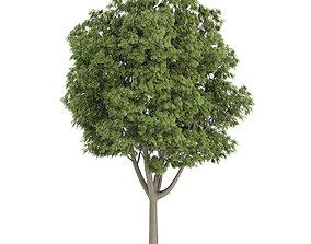 Common Ash 3D