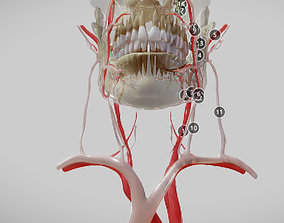 3D asset Orofacial anatomy with blood and nerve supply