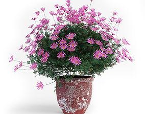 daisy plant 3D