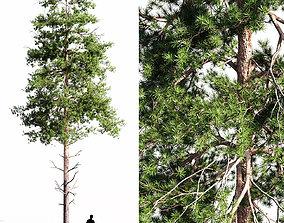 Scots pine 2 3D