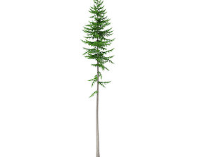 Norway Spruce Picea abies 16m 3D model