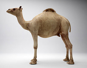 egyptian camel 3D