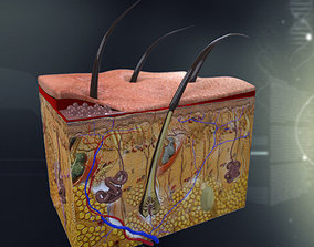 Human Skin Anatomy 3D model