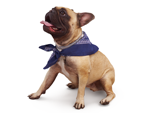 French Bulldog Posed 3D model