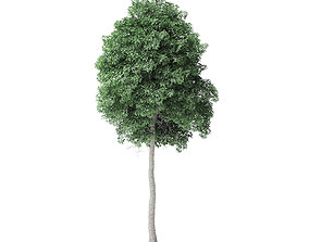 Boxelder Maple Tree 3D Model 9m
