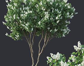 Lilac Syringa vulgaris Nr4 - Two trees H390cm 3D