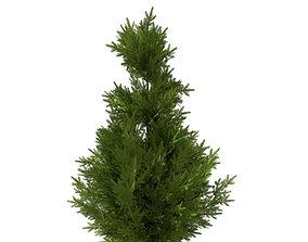 pine tree 10m 3D model