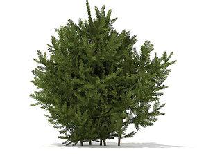 European Yew Taxus baccata 1m 3D