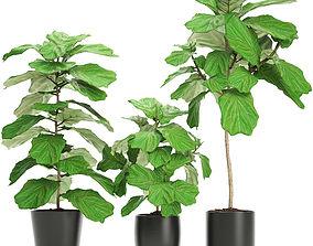 Ficus Lyrata Trees 3D