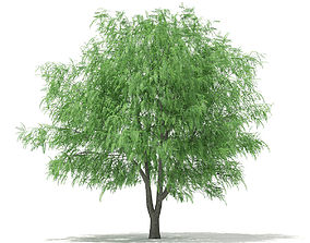 3D White Willow Salix alba 13m