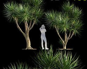 3D model Dracaena draco - Dragon tree 03