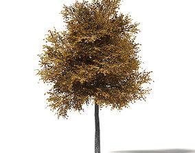 Field Maple 3D Model 9m