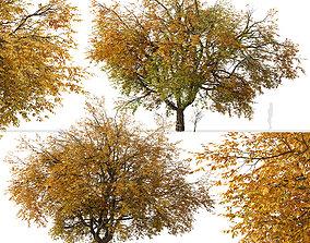 Set of Hangzhou elm or Ulmus changii Tree - 2 3D model