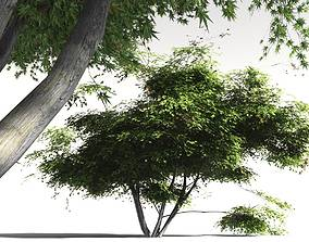 EVERYPlant Japanese Maple 08 -- 11 Models
