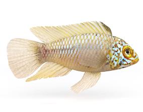 Cichlid Fish 3D model