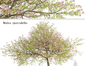 3D Malus spectabilis or Chinese Flowering Crabapple Tree 2