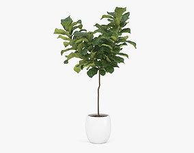 blossom 3D model Ficus Lyrata