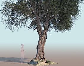 Olea europaea olive tree mature A 3D