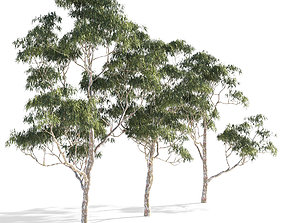Eucalyptus collection 1 3D