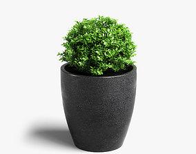 boxwood plant 3D