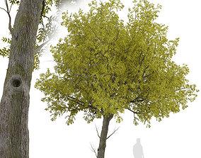 3D model Set of Arizona ash or Fraxinus velutina Trees - 2