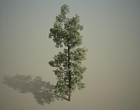 Conifer - Macedonian pine 3D
