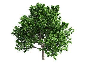 Brad Ford Pear Tree 3D model